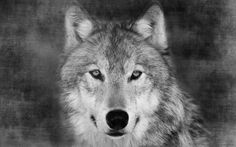 black and white pictures of wolf - Google Search