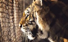 Victory! U.S. Acts to Protect Captive Tigers