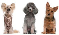 Najlepší pes pre alergikov? Tieto 3 plemená sú TOP Dogs, Animals, Poodle, Animales, Animaux, Pet Dogs, Doggies, Animal, Animais
