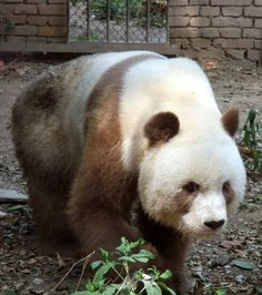 Beautiful Brown Panda