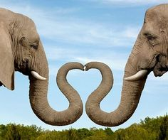 Elephants Making Heart Shape with Trunks - Royalty Free Images, Photos and Stock Photography :: Inmagine