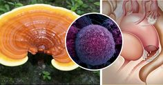 Reishi – Ganoderma lucidum contains high concentrations of organic germanium, polysaccharides and tripertene. These active components strengthen our immune cells and boost the immune ...