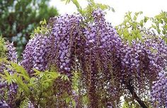 Wisteria floribunda Japanese Wisteria Its original Japanese name is Fuji or Noda Fuji.  It was imported into Europe in 1830.  The leaves are composed of 11/19 leaflets and it can reach up to 20 meters high.  The branches twist in a clockwise sense.  Violet/blue or violet/pink with hull mallow flowers, sweetly scented.  Long, clustered bunches 30/50 cm in length, slightly less than that of the W. sinensis.  It begins to bloom during the 3rd or 4th year.