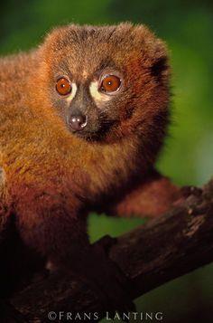 Red-bellied lemur, Eulemur rubriventer, Ranomafana National Park, Madagascar