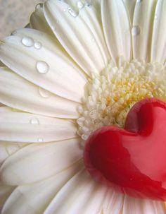 red heart on white flower