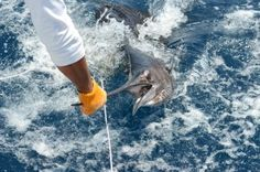 HOOKED ON A NEW WAY TO REEL IN A 120-POUNDER - Check the entire story in our blog: http://blog.takemefishing.org/waltzing-with-sailfish