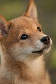 Shiba Inu. Reminds me of Brando when she was a pup... A mix, but still similar