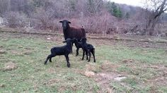 3 black lambs joined West Wind Acres early this morning!  #lambs - http://ift.tt/1HQJd81