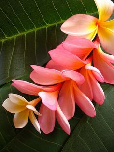 Plumeria - Native to the Pacific Islands, Mexico, the Caribbean and South America, plumerias are bright, colorful flowers that are also known as 'the lei flower.  Flowers in shades of white, red, yellow, pink and other pastels bloom for up to three months at a time. Plumeria blossoms have a sweet fragrance and last for several days after they are picked.