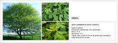 Acer campestre (Arce común)