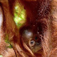 Sumatra Bukit Lawang Orang Utan, Animals, Round Trip, Travel Destinations, Animales, Animaux, Animal, Animais