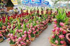 dragon fruit plants More