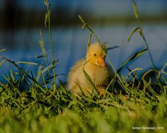 Pensive - Last year, I had reason to stop by Lodi Lake, and saw these Chinese Geese and their goslings enjoy a day in the park undisturbed by curious humans also out there to enjoy the day.