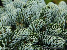 Abies koreana 'Kohout's Ice Breaker' - Conifer Kingdom. Spring's new growth has needles that strongly twist around the branches, showing the brilliant white undersides. Its slow growth rate is a result of its origin as a witch's broom discovered on Abies koreana 'Horstmann's Silberlocke' which has similarly-curved needles.