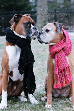 Wrap up warm this winter! These Boxers know what to do! NoahsDogs.com
