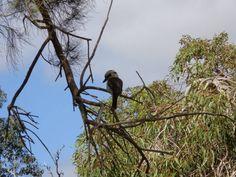 A kookaburra silhouette in King's Park, Perth