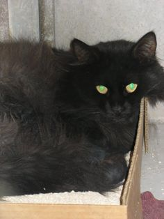 Friends of Arizona's Shelter Animals  E309/A3281311   2 YR/ 0.00 MO M BLACK / DOMESTIC LH/MIX  STRAY Intake Date: 3/25/2013 S5 TEM-FER    At risk for euthanasia at 5am, Saturday, March 30th.    MCACC East (602-506-PETS)  2630 W. 8th St. Mesa, AZ 85201  Hours open: 11AM-5:30PM  MCACC East is closed Thursdays except for lost pet recovery services.