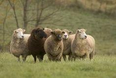 Thinking of raising sheep?  Sheep 101  (Living the Country Life)