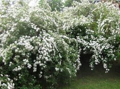 Bridal Wreath Spirea is one of the easiest shrubs to grow for a moon/night garden. pln