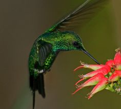 The Puerto Rican Emerald Hummingbird (Chlorostilbon maugeaus), or Zumbadorcito de Puerto Rico, is found only in Puerto Rico (mainly in mountainous regions). They measure 9-10 cm and weigh about 3 grams, but fight to defend territories with intense aerial pursuits. Puerto Rican Emeralds are especially attracted to red flowers.