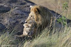 0187 - Outside pride Male Lion killing cub, Masai Mara, Kenya