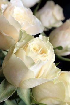Creamy White rose buds….