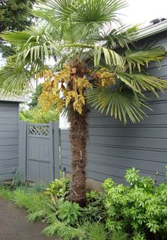 Everyone's favourite hardy palm (at least in the Pacific Northwest), Trachycarpus fortunei. Have one of these in the backyard...