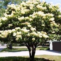 Japanese Tree Lilac. Zone 3-7. It has a delightfully scented long blooming season and is very easy to care for. It will mature to 25' and can be left to grow as a shrub or trimmed to a multi or single trunked small tree.