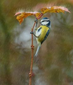 Blue Tit surveys his surroundings from under his umbrella.