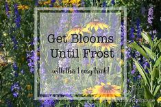 If you want continuous blooms in your cottage garden deadheading is essential. Walk with me through my garden as I do off with their Heads! Deadheading Flowers, Off With Their Heads, Frost, Garden Design, Bloom, Gardening, Cottage, Lawn And Garden, Cottages