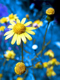 card making inspiration .... yellow daisies and bright blue ...