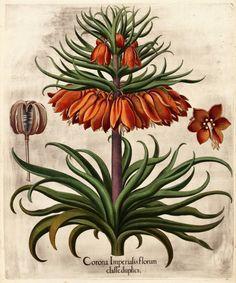 Corona Imperialis Florum Klasse duplicatie.  I. Keizerskroon met twee kronen Eichstaett & Nuernberg, 1613 [c. 48 x 40 cm] Originele kopergravure in fijne handkleur