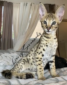 adorable F2 Savannah kitten with tall ears Serval Kittens For Sale, Kitten For Sale, Savannah Kittens For Sale, Savannah Chat, Las Vegas, Ears, Animals, Animales, Animaux