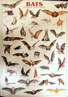 Types of Bats Chiroptera Animal Education Poster 27x39 – BananaRoad