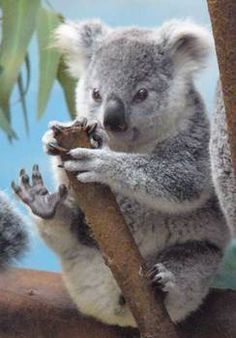 This is a picture of an obviously really cute koala bear. I chose this animal because it is my best friend's favorite animal. And also beca. Cute Koala Bear, Baby Koala, Cute Baby Animals, Animals And Pets, Funny Animals, Baby Otters, Wild Animals, The Wombats, Australian Animals