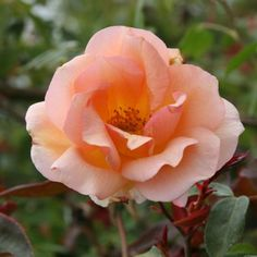 "Crépuscule - Double 4"" blooms of rich apricot with ruffled petals that open to reveal rich golden centers. This repeat blooming nearly thorn-less rose can be grown as a climber or a shrub."