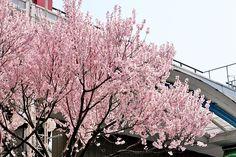 2015年3月31日(火)こんにちは。加古川駅前ベルデモール「長谷川銘菓堂」さんの前にある「寒桜」が満開!その名の通り早咲きの品種として有名ですが、今年はやや遅めの開花です。これが終わると「染井吉野」が一気に咲き始めます(この近辺では現在三分咲きくらい)。今日で3月も終わり。いよいよ春本番といった感じになってきましたね☆週末はお花見に出掛けたいところですが...週間予報では雨が降りそう...。なんとか晴れて欲しいものです(^^;  それでは、今日も皆様にとって良い1日になりますように☆ 【加古川・藤井質店】http://www.pawn-fujii.jp/