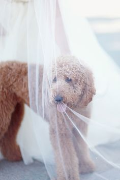goldendoodle // my future pup!