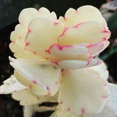 kalanchoe albino                                                       …