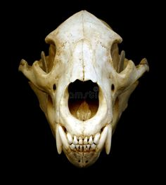 Vulpes vulpes - red fox skull, front | Fox skull, Animal ...