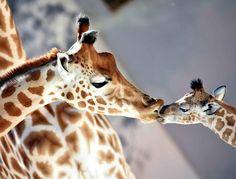 «Kenai» est né le mois dernier au zoo de la Flèche (Sarthe). Sa…