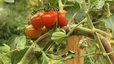 Fungi, Harvest, Potatoes, Stuffed Peppers, Canning, Vegetables, Garden, Plants, Food