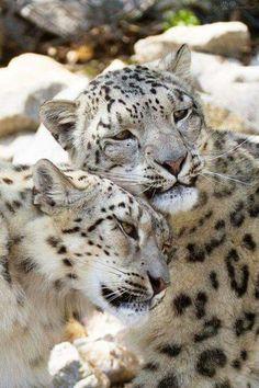 Cuddling Snow Leopards, it's so sad how these beautiful creatures are endagered Animals And Pets, Baby Animals, Funny Animals, Cute Animals, Wild Animals, Big Cats, Cool Cats, Cats And Kittens, Beautiful Cats
