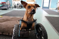 WEBSTER!  Showing off in his front wheel cart.