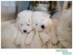 Wish I could have had my Samoyeds as puppies!
