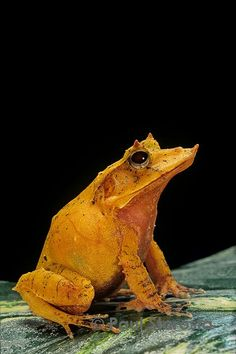 Ceratobatrachus guentheri
