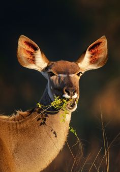 (via 500px / Kudu eating green leaves by Johan Swanepoel)