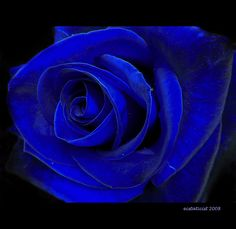Blue Rose                                                                                                                                                                                 More
