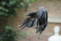 Landing raven