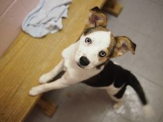 Beagle x Siberian Husky, I want this dog! Beagle Husky Mix, Cute Husky, I Love Dogs, Puppy Love, Puppy Classes, Animal Room, Kinds Of Dogs, Dog Mom, Fur Babies